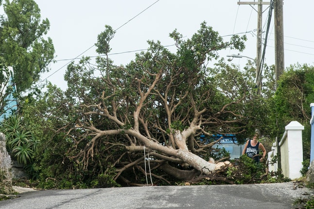 A tree downed in St. Georges, Bermuda, in the wake of Hurricane Nicole.