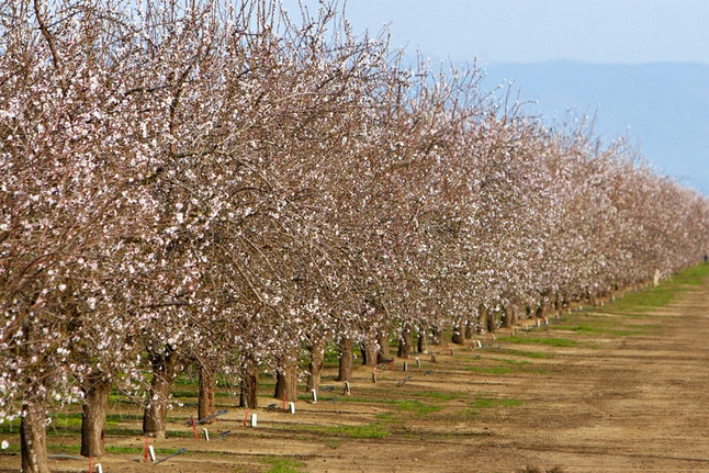 Almond trees in blossom.