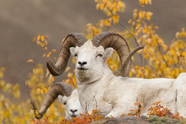 Dall Sheep Rams of the Yukon