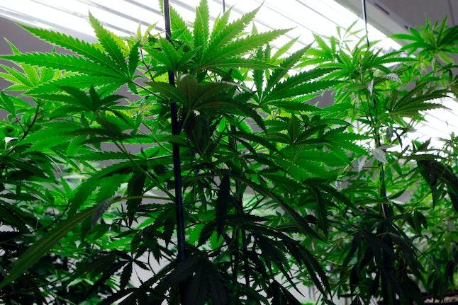 Marijuana plants flourish under grow lights at a warehouse in Denver.