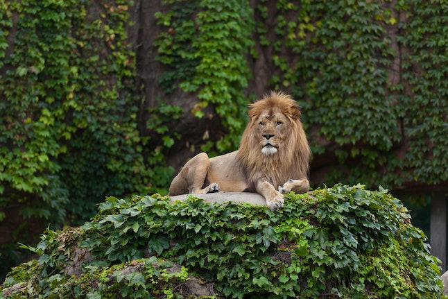 A proud male lion observes the city from his perch at Lincoln Park Zoo.