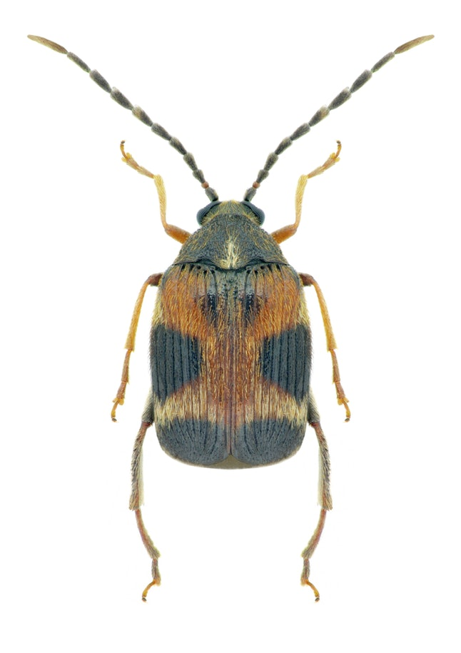 The Callosobruchus maculatus, or seed beetle