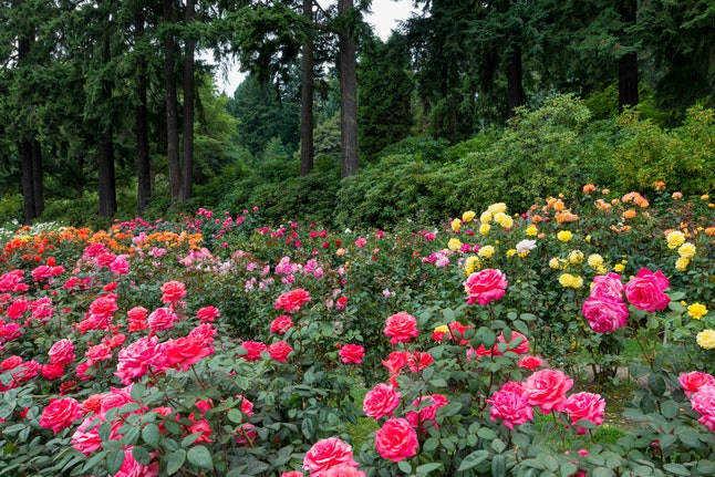 Get lost among the blooms at this rose garden in Portland.