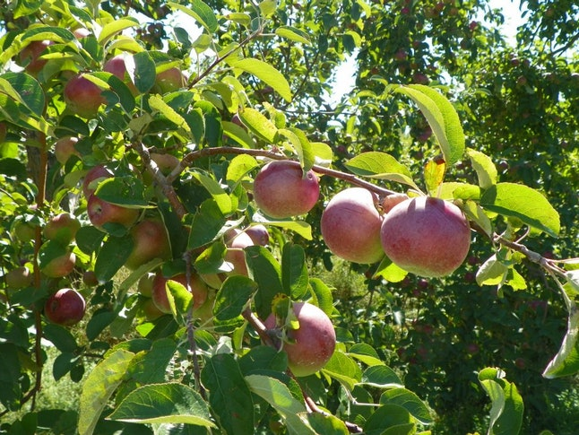Apples at Chazy Orchards