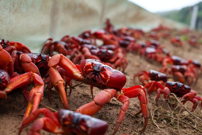 """Red crabs march in the 'Planet Earth II' """"Islands"""" episode"""