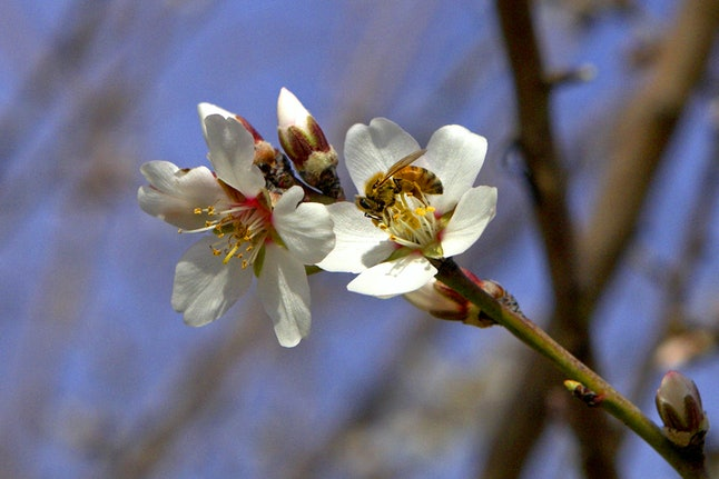 A bee hangs out on an almond blossom.