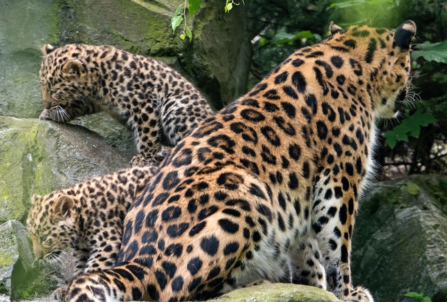A leopard mama with her cubs at a zoo in Leipzig, Germany