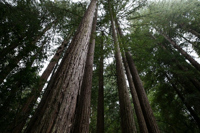 Coastal Redwood trees in Muir Woods National Monument in Mill Valley, California.