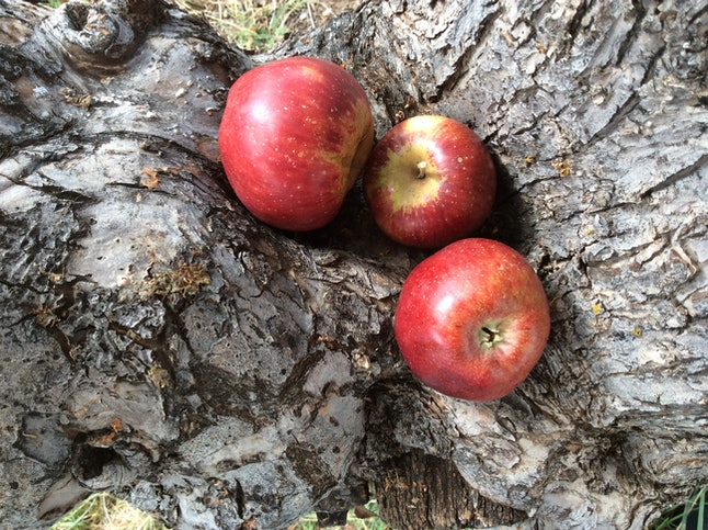 The Thunderbolt apple, rediscovered by the Montezuma Orchard Restoration Project