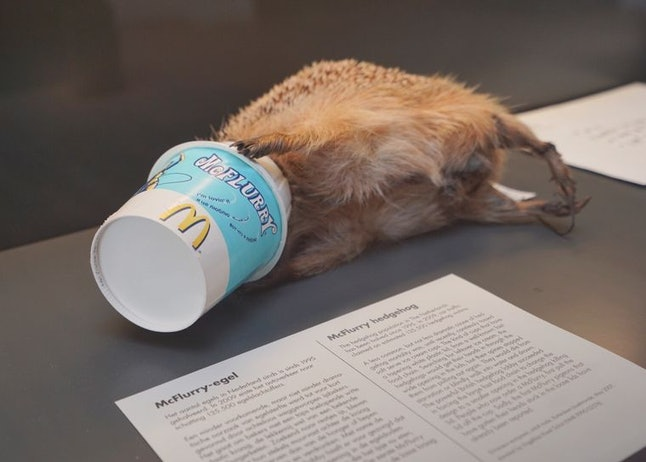 An exhibit of a hedgehog stuck in a McFlurry container at the Natural History Museum Rotterdam