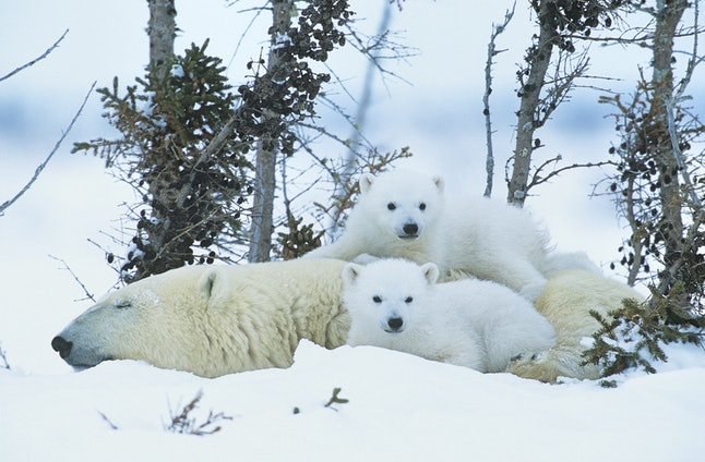 Polar bear cubs with mother.