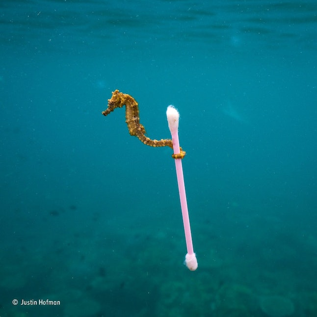 """Photographer Justin Hofman took this photo while snorkeling in Indonesia last December. """"I almost didn't want to take pictures because the seahorse was so small, I had a wide-angle lens and there were bumpy conditions [in the water],"""" he said."""