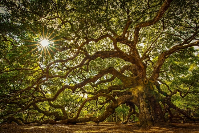 The sun finds its way through the majestic Angel Oak tree's branches.