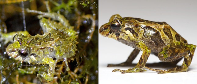 The Mutable rain frog (Pristimantis mutabilis) was the first species to do something no other vertebrate has been documented to do—change texture from smooth to spiky within minutes.