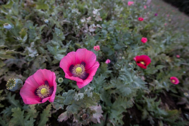 Opioids are derived from the poppy plant.