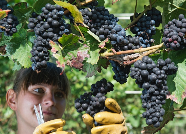 A woman harvests grapes in Germany in mid-September 2016.