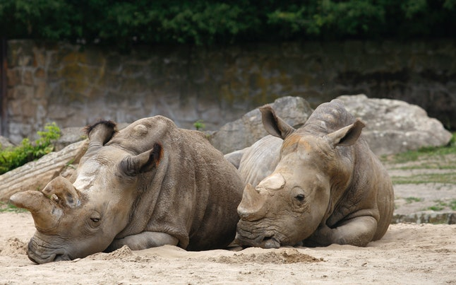 Nabiré lies with a southern white rhino companion in the zoo.