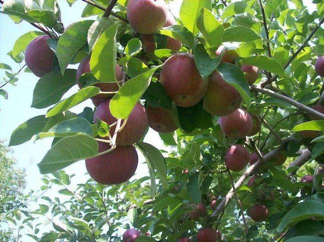 Apples at Windy Ridge Orchard
