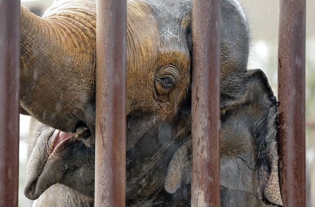 One of the Ringling Bros. male elephants in his pen