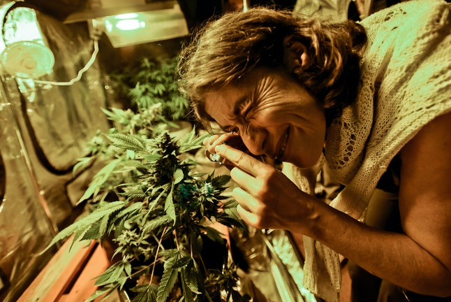 A woman inspects marijuana at an industry exposition in Montevideo in 2014.