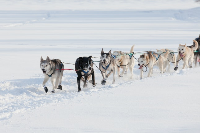 Sled dogs pulling hard to win the Yukon Quest sledding race