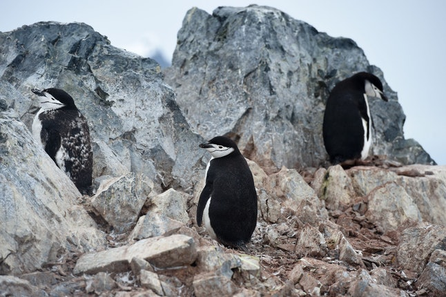 Chinstrap penguins in Orne Harbour in the western Antarctic peninsula