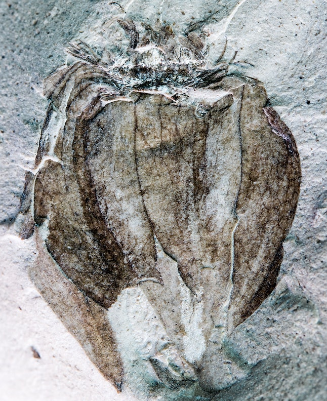 The new fossil groundcherry Physalis infinemundi from Laguna del Hunco in Patagonia, Argentina, 52 million years old. This specimen displays the characteristic papery, lobed husk and details of the venation.