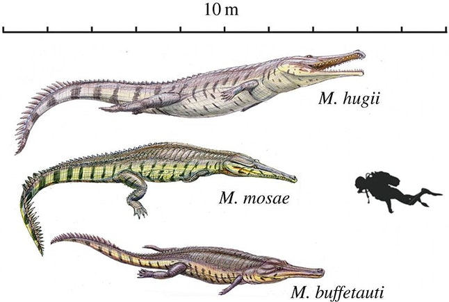 Some ancient crocs were giants. See the human diver in this illustration for scale.