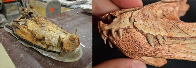 Left, a big Kaprosuchus skull in the paleontological collection at the University of Chicago. Right, a tiny Gondwanasuchus skull at the Paleontology Research Center, Peirópolis, Brazil.