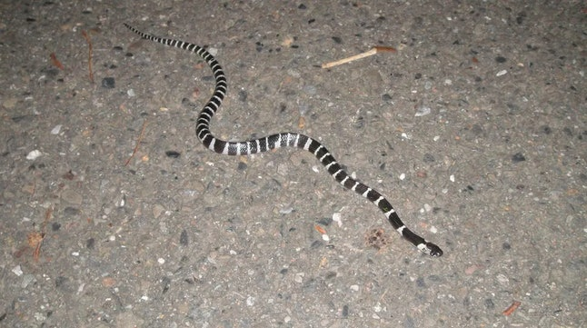 The many-banded krait (Bungarus multicinctus), also known as the Taiwanese krait or the Chinese krait, is a highly venomous species of elapid snake found in much of central and southern China and Southeast Asia.Briston/Wikimedia, CC BY-SA
