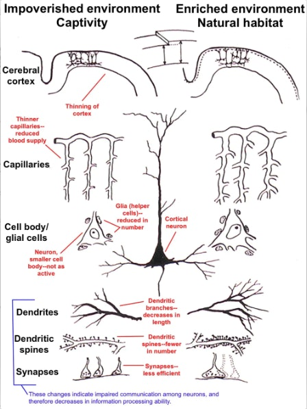 This illustration shows differences in the brain's cerebral cortex in animals held in impoverished (captive) and enriched (natural) environments. Impoverishment results in thinning of the cortex, a decreased blood supply, less support for neurons and decreased connectivity among neurons.