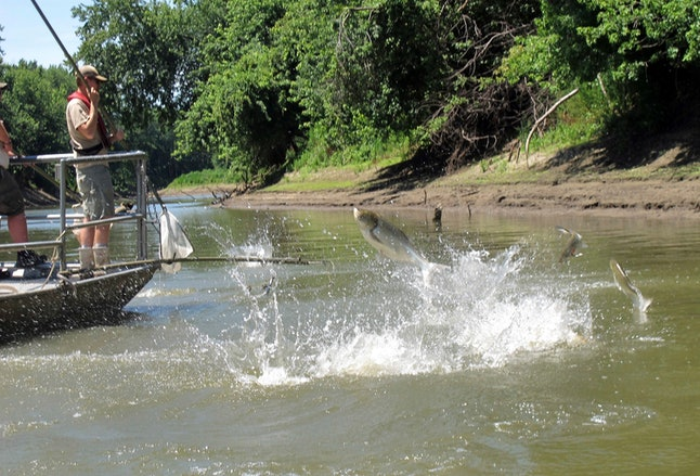 """Asian carp jump from the Illinois river as scientists aboard a research boat activate an electric current to stun fish so they can be scooped up and examined near Havana, Ill. Outgoing Illinois Gov. Bruce Rauner has rejected Michigan's offer of $8 million to help support a project to keep invasive carp from establishing themselves in the Great Lakes. Rauner said in a letter in Dec. 2018 to term-limited Gov. Rick Snyder that Michigan's offer to support operations and maintenance at the Brandon Road Lock and Dam near Joliet, Ill., """"isn't of much use"""" until after the improvement project there is completed in 10 years"""