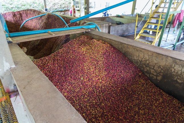 Coffee process in coffee factories at Doi Chaang in Thailand.