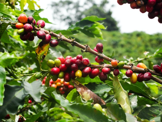 Coffee plant in nature