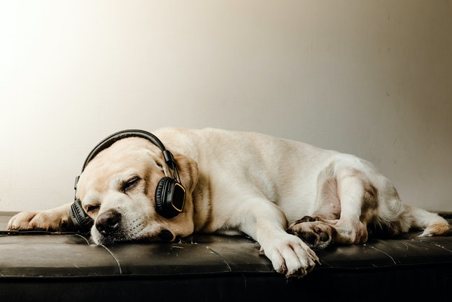 The Cute Labrador retriever dog sleeping and relax with headphone