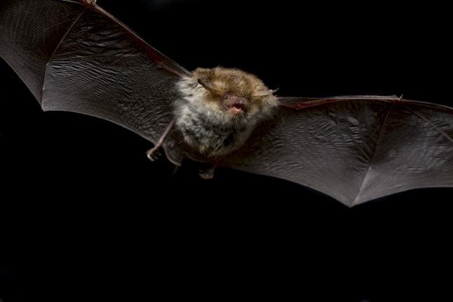 Close up flying small Bechstein's bat (Myotis bechsteinii) hunting night moths and insect pest catching in darkness via ultrasound echolocation. Dark background detail wildlife animal portrait scene.