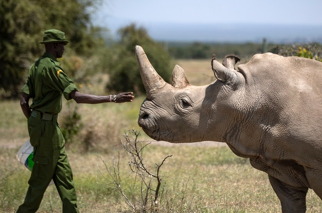 A ranger reaches out towards female northern white rhino Najin, 30, one of the last two northern white rhinos on the planet, in her enclosure at Ol Pejeta Conservancy, Kenya . Wildlife experts and vets say there is hope for the northern white rhino which is on the verge of extinction, after they successfully managed to draw eggs Thursday from the last two of the species, hoping they can be used to reproduce the species through a surrogate