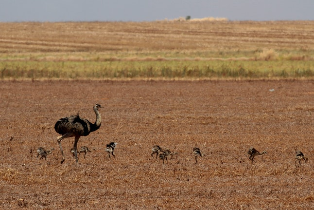 Ostriches are seen at a farm in the Cerrado ecosystem, outskirts of Brasilia, Brazil, . According to the Brazilian Institute of Environment, the Cerrado, the second largest biome in Brazil, lost approximately 50% of his native vegetation. The Brazilian government announced a plan to prevent and control deforestation and fires in the Cerrado, which holds about 5% of the planet's biodiversity and represents about 22% of the area of Brazil. The main cause of deforestation in this Brazilian area is the expansion of agriculture and soybean's monoculture