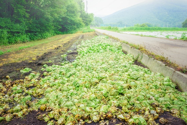 Scenery of agricultural land, discarded lettuce.