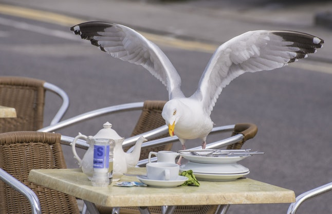 Herring Gull (Larus argentatus) adult, breeding plumage, stealing food from cafe table, Sennen Cove, Sennen, Cornwall, England