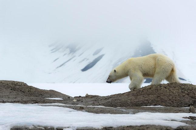 Female polar bear (Ursus maritimus) walking on the ridge of a glacier, Bjoernsundet, Hinlopen Strait, Spitsbergen Island, Svalbard Archipelago, Norway