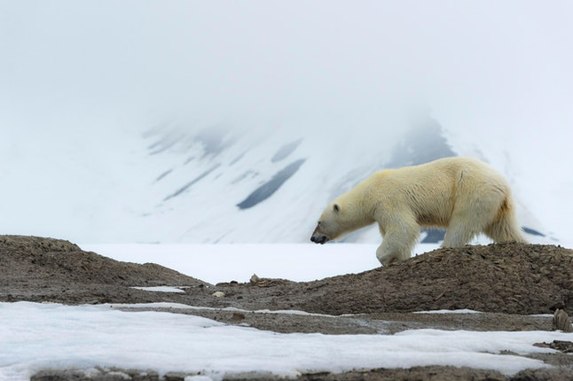 Female polar bear (Ursus maritimus) walking on the ridge of a glacier, Bjoernsundet, Hinlopen Strait, Spitsbergen Island, Svalbard Archipelago, Norway