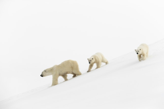 Polar bears (Ursus maritimus), mother animal and 15 months old cubs walking in snow, Unorganized Baffin, Baffin Island, Nunavut, Canada