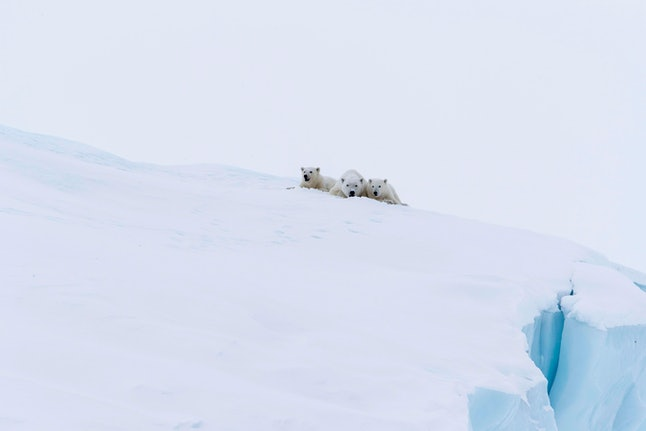 Polar bears (Ursus maritimus), mother animal and two young cubs, three month old, lying on an iceberg, Unorganized Baffin, Baffin Island, Nunavut, Canada