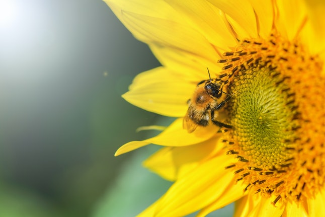 Bumblebee. One large bumblebee sits on a yellow sunflower flower on a Sunny bright day. Macro horizontal photography