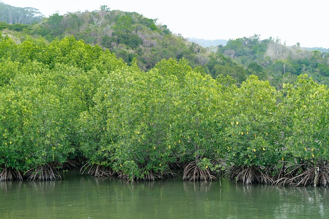 mangrove forest. submerged mangrove forest
