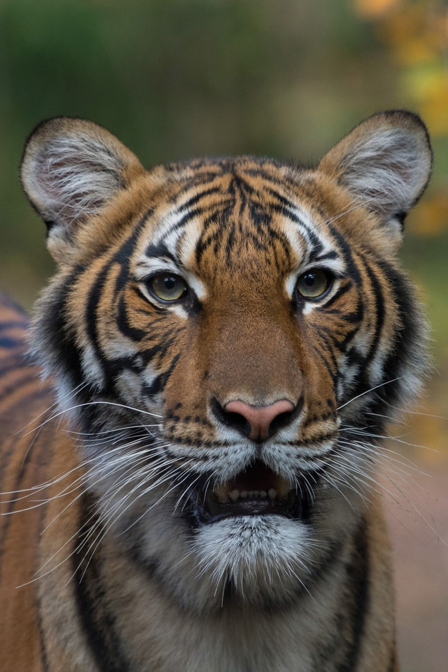 A handout photo made available by the Wildlife Conservation Society (WCS) shows one of the two Malayian tigers in its enclosure at Bronx Zoo, New York, New York, USA, 09 November 2017 (issued 06 April 2020). According to a statment by the Bronx Zoo, one of its Malayan tigers, 4 year old female Nadia, has tested positive for the SARS-CoV-2 coronavirus, causing the COVID-19 disease.